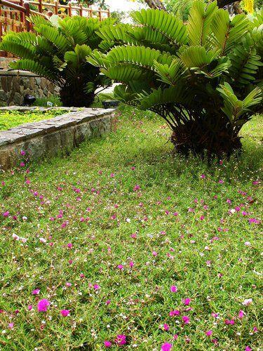 Zamia furfuracea palms and plants for Planta ornamental zamia