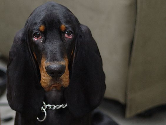 Introducing ZEEK the black and tan coonhound