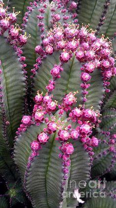 las flores del cactus del anciano peruano
