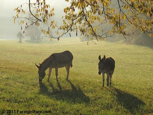 Daphne and Esmeralda in the misty morning hayfield