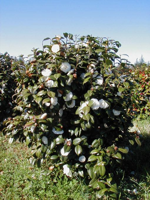 Camellia Japonica White By The Gate Kiefer Nursery Trees Shrubs Perennials Japonica Flowering Bushes White Gardens