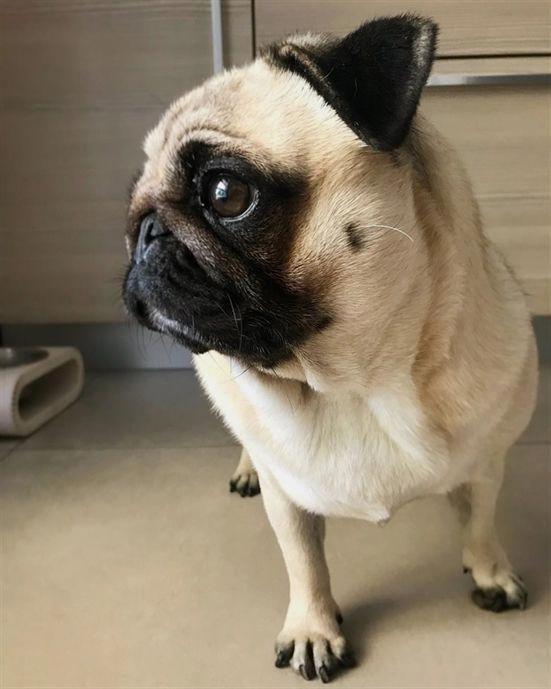 Baby Pug Dog Price In Delhi Baby Pug Dog Baby Pugs Puppy Safe