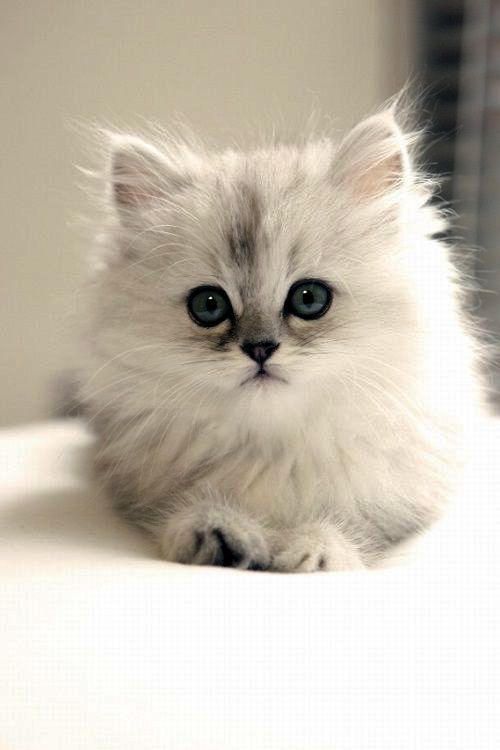 Cute Cats Breeds In India How To Draw Cute Cats And Kittens Step By Step Cute Cat Breeds Best Cat Breeds Beautiful Cats