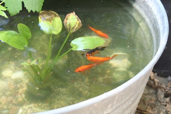 Goldfish pond in tin container garden treasures for Small goldfish pond