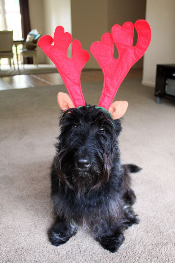 They're always down to celebrate. | 21 Reasons Scottish Terriers Are The Champions Of Our Heart