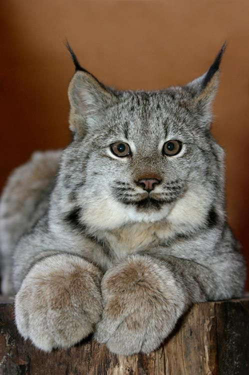 Check out those huge paws! I think it's a lynx. I think Bobcat's have tufts IN their ears not on them. ????Don't really care,just look at those huge paws! ..... Paws are huge, it is Canada lynx, and according to the coat color.