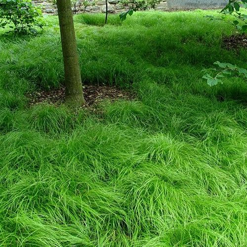 Carex pennsylvanica. An alternative grass reducing mowing needs for the midwest