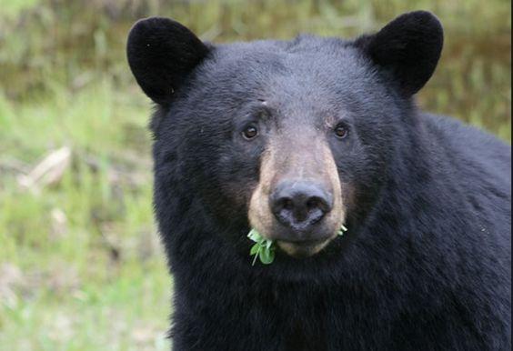 ¿Qué hace si se topa de frente con un enorme oso negro? Él aplicó el karate