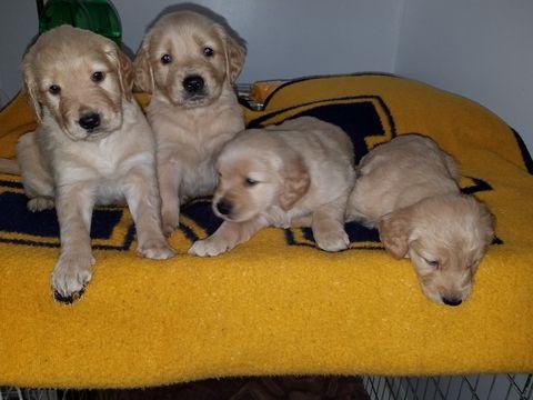 Golden Retriever Puppy For Sale In Flushing Mi Adn 64906 On Puppyfinder Com Gender Female Age 6 Weeks Old Golden Retriever