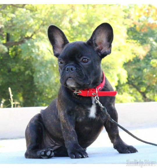 French Bulldog Price 2 200 French Bulldog Puppies French