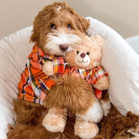 PIC BY SANDI SWIRIDOFF / CATERS NEWS AGENCY - (Pictured: Reagan with his teddy ) - fluffy dog and his human best friend are breaking the Internets heart thanks to their adorable images. Mr Reagan, a two-year-old Australian Labradoodle, lives with Sandi Swiridoff and is best friends with her fostered grandchild. Their loving friendship is captured in adorable photos posted to nearly 60,000 Instagram followers - often with the buddies wear matching outfits. To protect the little boys privacy, Sand