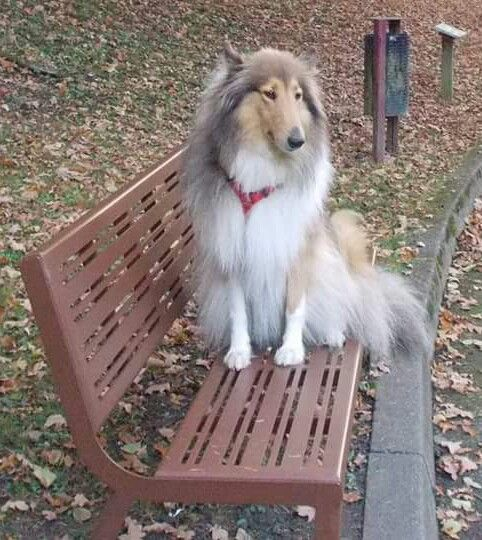 Pin By Lyn Walfish On Animaux Collie Dog Collie Puppies Animal