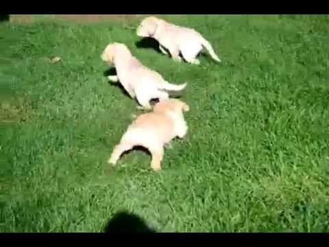 Labrador Retriever Puppies Katy Texas Yellow Lab Puppies Www