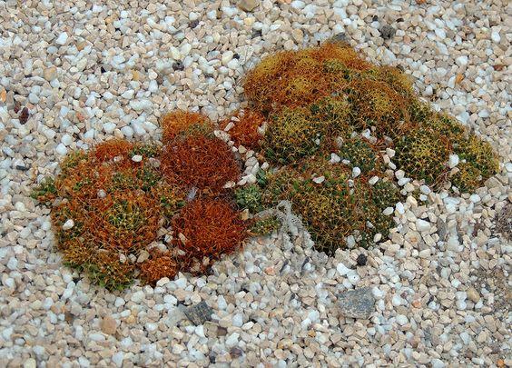 Mammillaria camprotricha (Dolichotele c. o Pseudom)  http://www.elhogarnatural.com/Cactaceas.htm