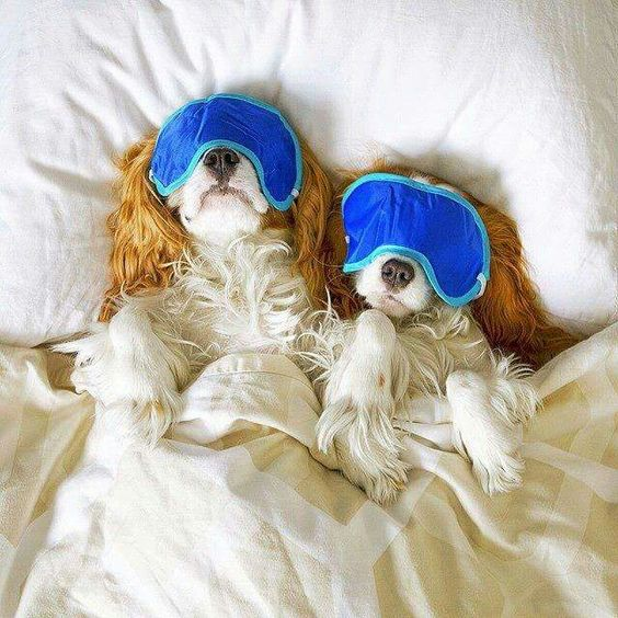 beauty sleep king charles spaniel I have two of them                                                                                                                                                     More
