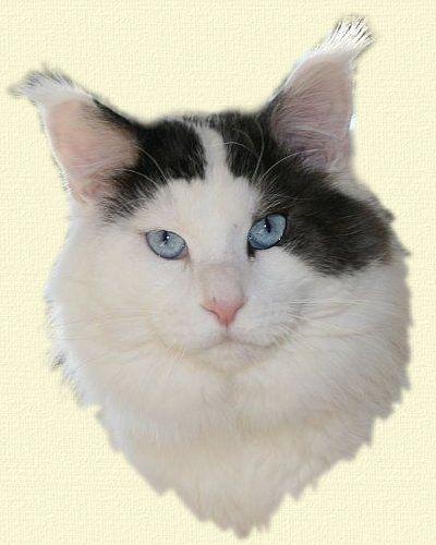 Maine Coon, blue eyed. Black smoke & White Harlequin (ns 09). Pillowtalk's Bon Aqua