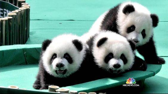 Pandas Are Making a Comeback