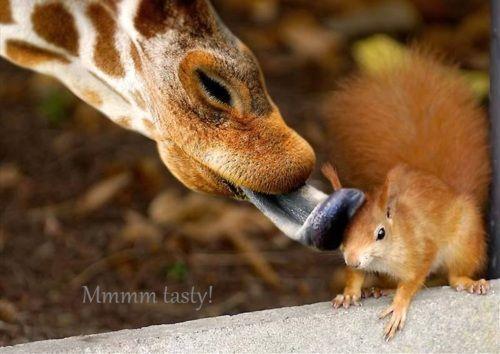Giraffe & Squirel     #repin me