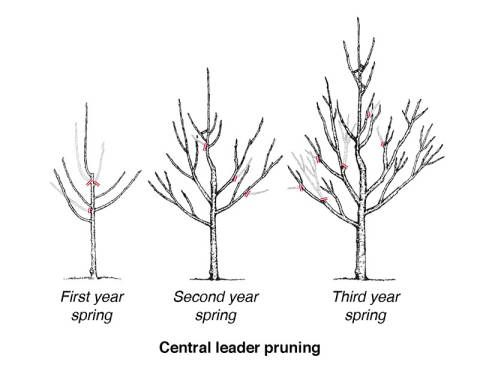 Diagram Of Trees Pruned Using The Central Leader Pruning Method Used With Permission From University Of Wisconsin Minnesota Garden How To Grow Cherries Fruit