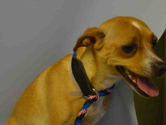 MOLLY - A1043879 - - Manhattan  TO BE DESTROYED 07/24/15  ** NEW HOPE ONLY RESCUE ** Molly is the cutest spayed one year old chihuahua mix, she has the sun shining with her youthful age and should have everything going for her. She was born at her former home, was kept from a litter, and continued living with dog family members. Molly has lived with children and was personable with people. Molly became a bit of a diva with her all male dog relatives. She was surrendered wit