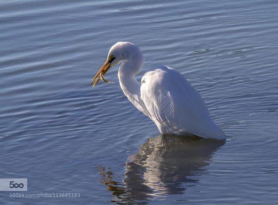 White Heron by scsutton #animals on 500px