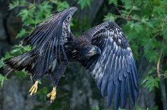 Immature Bald Eagle 9_2