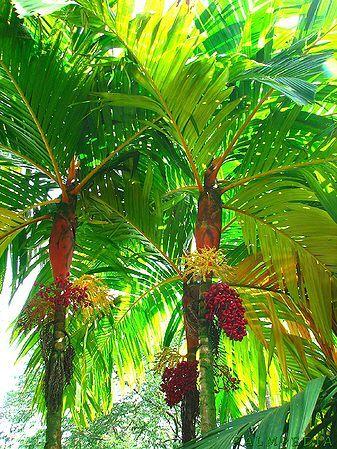 Areca vestiaria 'Orange Form' (Orange Crownshaft Palm) - native to Indonesia - grows to 7.6m