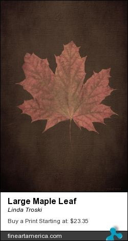 Large Maple Leaf found on a small three foot tree.