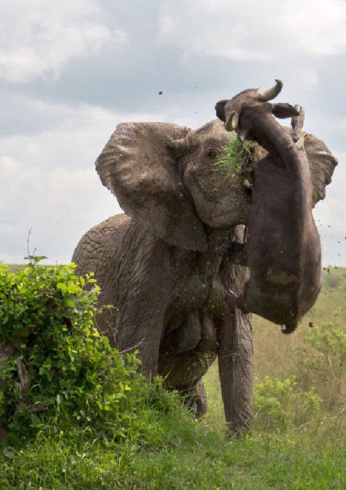 Un elefante empala con sus colmillos a un búfalo de 500kg en el parque Masai Mara, Kenya (Kim Murer, 2016)