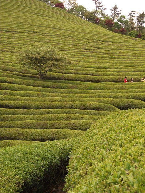 (Boseong Green Tea Farm, Korea)