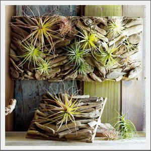 Air plants driftwood wall art and plants on pinterest for Air plant art