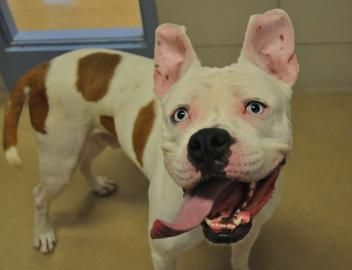 Wisconsin Humane Society - Available Animals - Capone: One happy dog ;)
