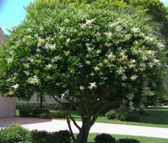 This wax leaf ligustrum is a nice bush or pruned out as a for Wax landscape