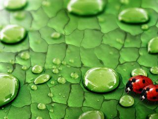 The ever new collection of Ladybugs insect hd desktop wallpaper
