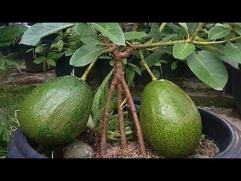 How To Cara Buat Alpukat Kerdil Cepat Buah Di Pot Air Layering Tree Youtube Avocado Plant Dwarf Fruit Trees Growing Fruit Trees