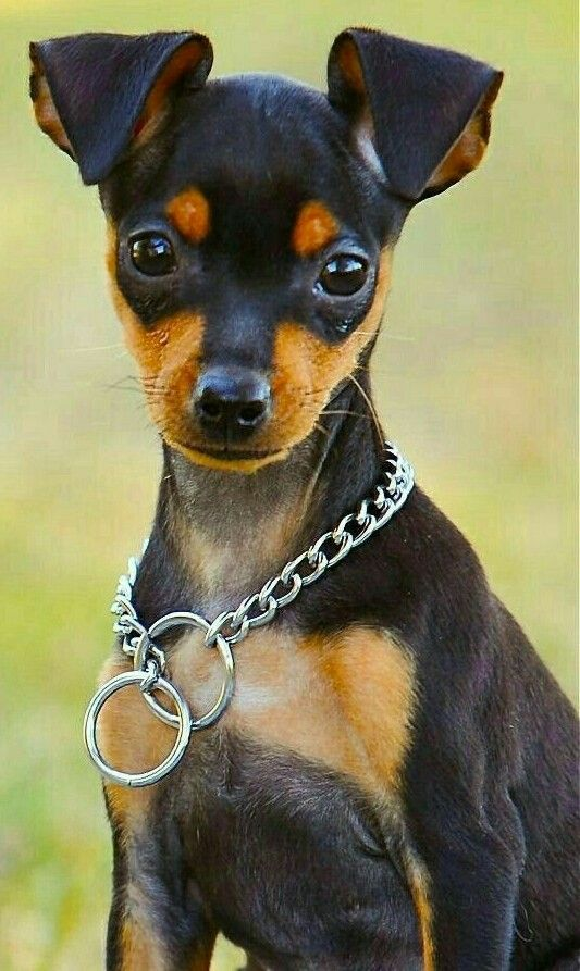 Pin By Farm Lady On Dog Chihuahua Chiweenie Jack Russell