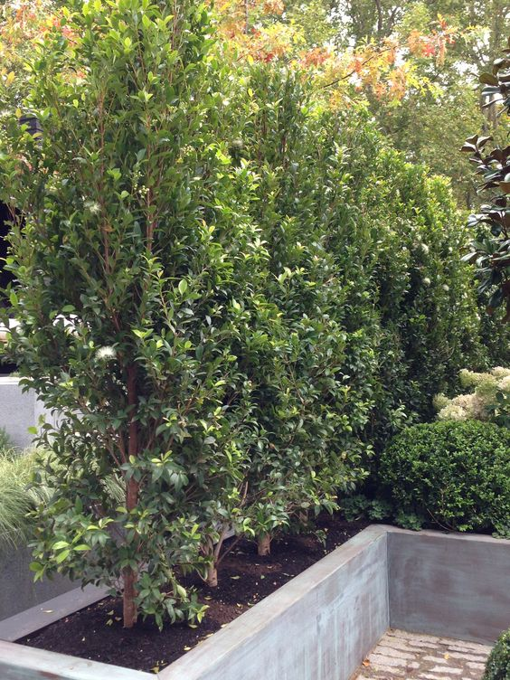Syzygium 39 resilience 39 very popular lilly pilly for for Lilly pilly shrub