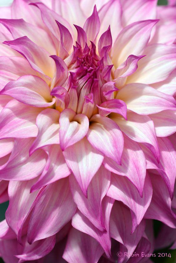 ~~Pink and White Curves Ahead! | Colorado Classic Dahlia ...