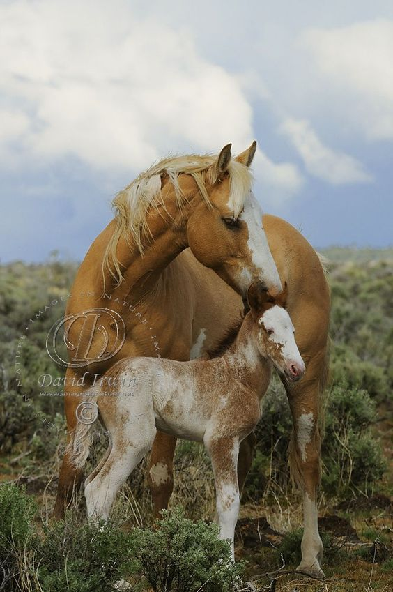 Pinto horses - Wild Paint Mustang and foal. Beautiful Palomino colored mare. Lovely horse photography.
