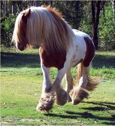 <3  <3  The Irish Cob (aka. Gypsy) Horse.