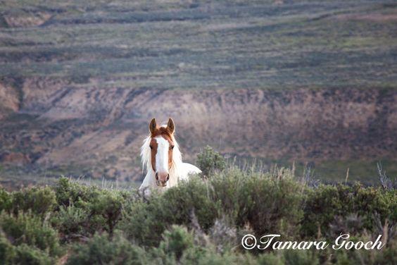 Wild-Horse-Photo_MG_1443 / Wild Mustang Stallion peaking over Juniper trees / by Tamara Gooch Photography