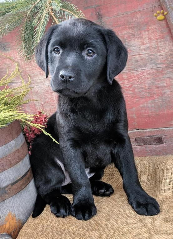 Pin By Kelly Tucker On Labs Rule Labrador Retriever Puppies Labrador Retriever Cute Fluffy Puppies