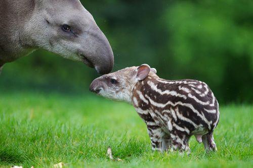 Mum and baby tapir