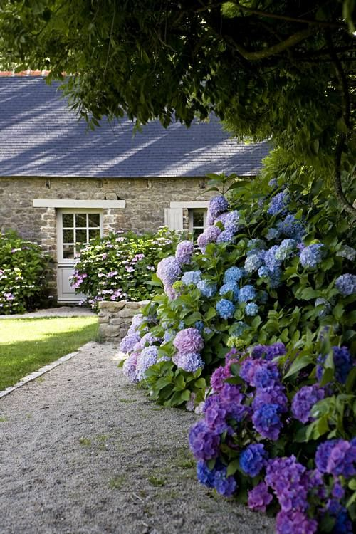 Hydrangeas, Le Mesnil des Bois, near Saint Malo and Mont St. Michel, France, uncredited