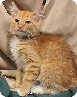 Missouri City, TX - Domestic Mediumhair. Meet Butternut, a kitten for adoption. http://www.adoptapet.com/pet/11896098-missouri-city-texas-kitten