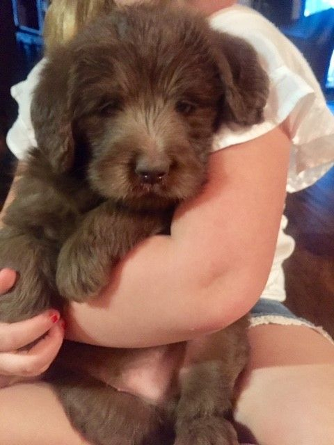 Litter Of 9 Labradoodle Puppies For Sale In Jarrell Tx Adn 66043