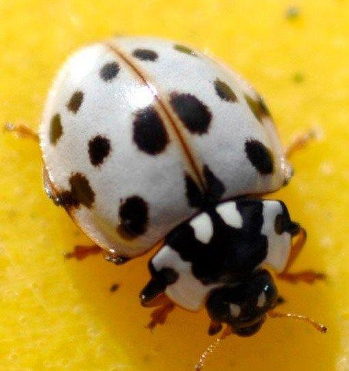 Ten Amazing Types Of Ladybird And Where To Find Them Lady Beetle White Ladybug Ladybird