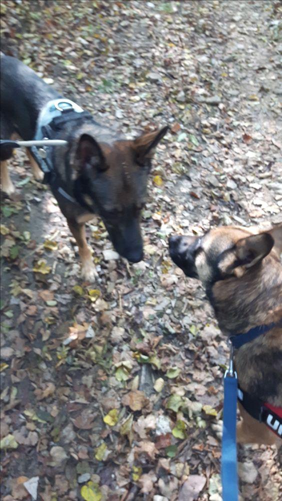Hunde Foto: Claudia und Spikey und Nora - Erste Begegnung 😍😍 Hier Dein Bild hochladen: http://ichliebehunde.com/hund-des-tages  #hund #hunde #hundebild #hundebilder #dog #dogs #dogfun  #dogpic #dogpictures
