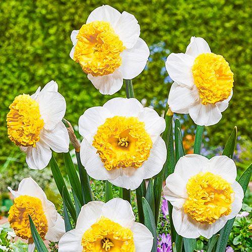 Can Can Girl Daffodil Daffodils Part Shade Flowers Daffodil Flower