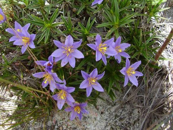florzinha lilás